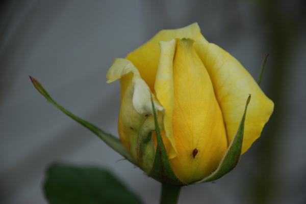 8 plagas que pueden atacar sus rosales.