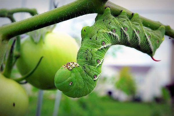 Como eliminar a las orugas de nuestro jardín