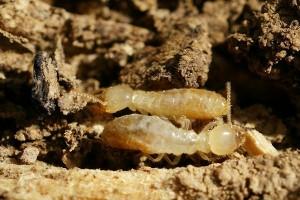 Como saber si en tu casa hay termitas, consejos para exterminarlas