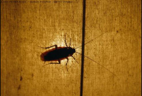 Por qué aparecen las cucarachas en casa