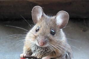 Consejos para eliminar los ratones definitivamente