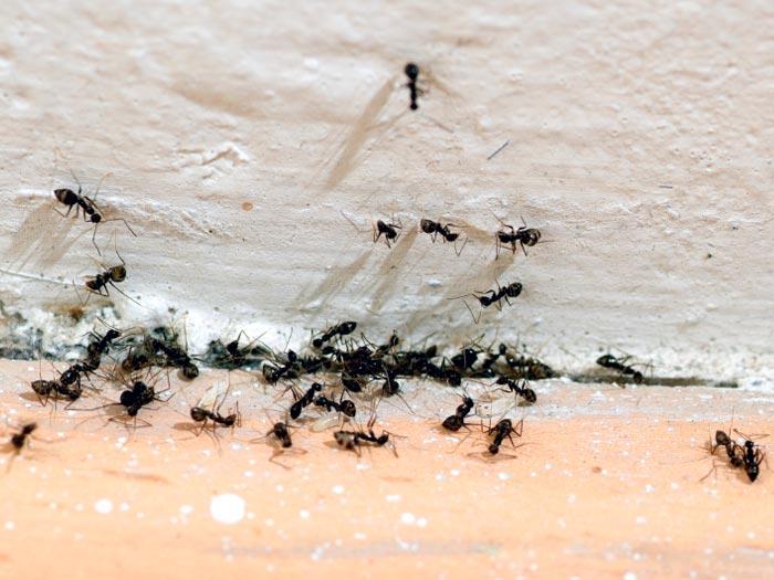 Las hormigas en el hogar