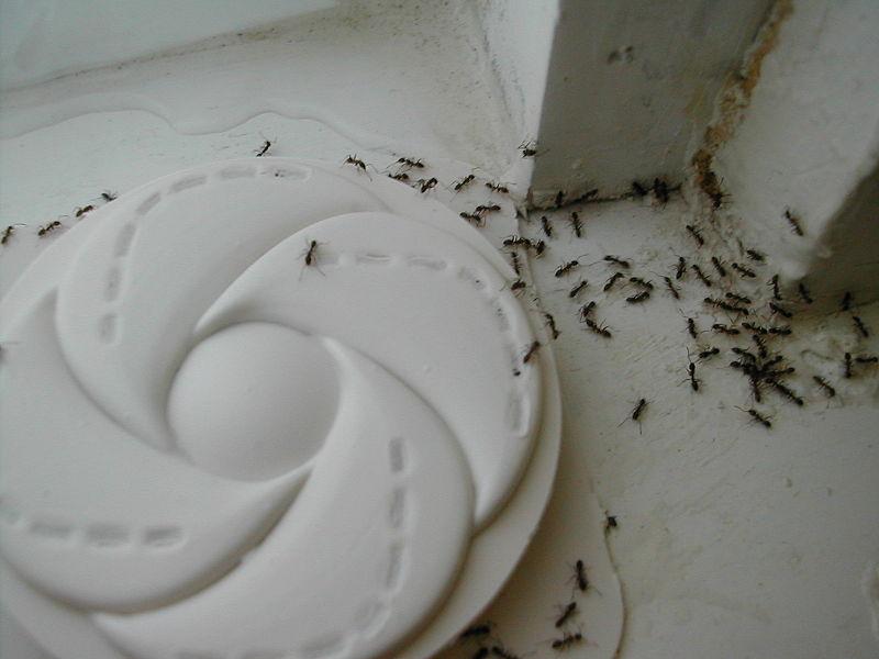 Eliminar Hormigas Archivos - Eliminar Plagas