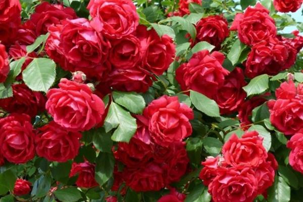 Las plagas de los rosales: cómo evitarlas