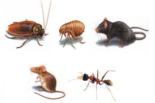 Plagas que elimina el b rax - Como eliminar ratones en el hogar ...
