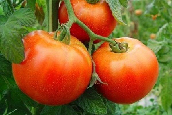 Plaguicidas naturales para las plantas de tomate