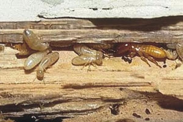 Por qu aparecen las termitas en casa - Termitas en casa como matarlas ...
