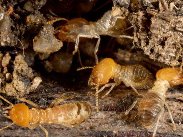 Remedios naturales contra las termitas