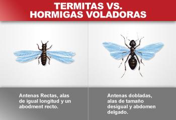 Plaga de hormigas voladoras en casa eliminar plagas for Como eliminar plaga de hormigas