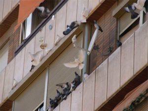 limpiar excrementos de paloma