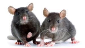 Cinco consejos para lidiar con los ratones en tu hogar